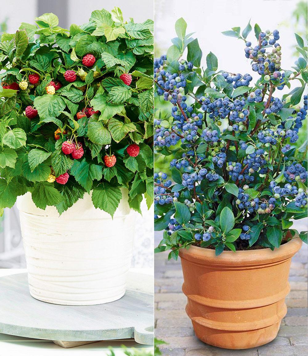 Topf-Heidelbeere 'Blue Parfait®' & Topf-Himbeere 'BonBonBerry® YUMMY'