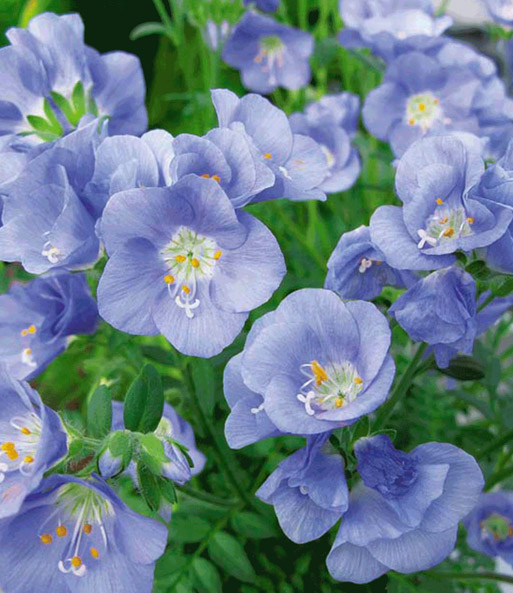 Polemonium 'Northern Light'