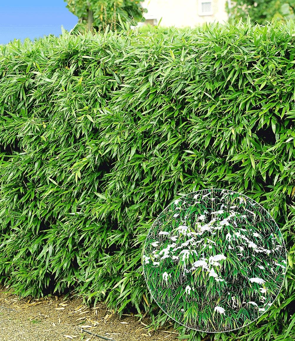 Winterharte Bambus-Hecke im 2-Liter Container