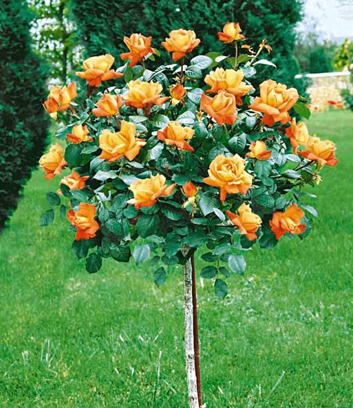 Baldur garten rosen  Rosen-Stämmchen Maja Oetker®: 1A-Qualität | BALDUR-Garten
