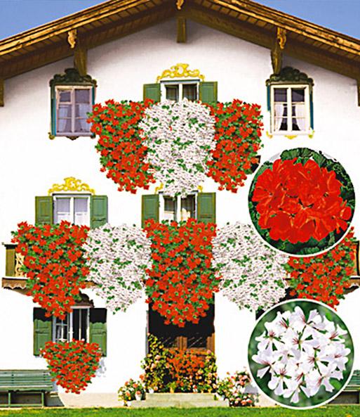 Hervorragend Tiroler Hängegeranien-Kollektion: 1A-Qualität | BALDUR-Garten LM61