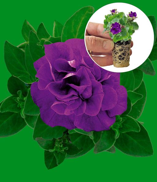 h nge petunien 39 dark purple 39 petunien bei baldur garten. Black Bedroom Furniture Sets. Home Design Ideas