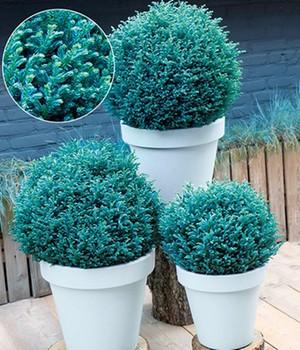 Scheinzypresse ´Blue Moon&reg,´,1 Pflanze