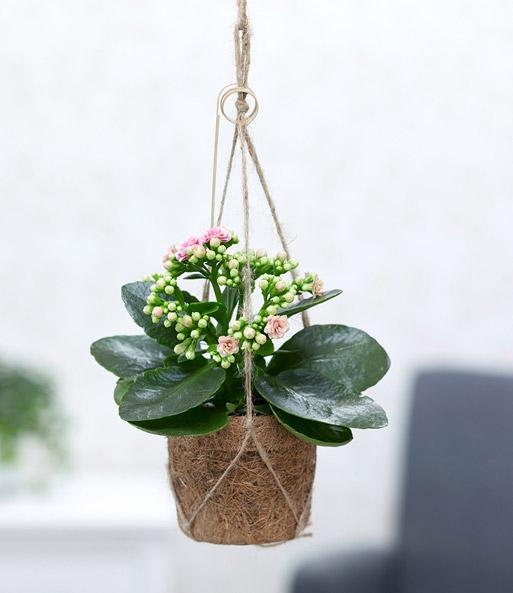 kokodama kalanchoe 1a zimmerpflanzen bestellen baldur garten. Black Bedroom Furniture Sets. Home Design Ideas