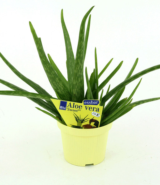aloe vera 1a zimmerpflanzen online kaufen baldur garten. Black Bedroom Furniture Sets. Home Design Ideas