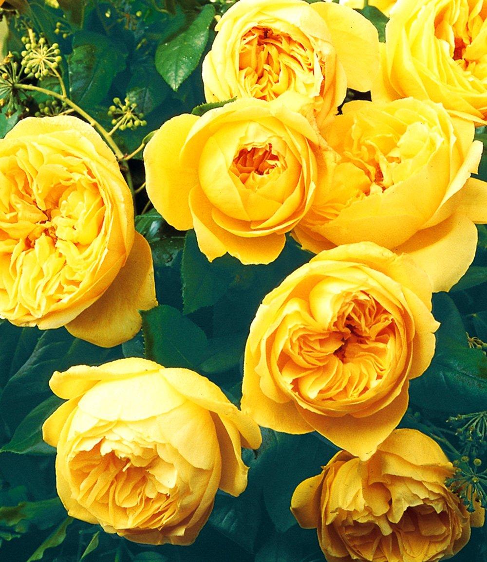 Rose der Liebe 'Souvenir de Marcel Proust®'