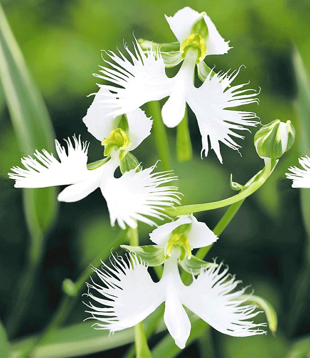 Weiße Vogelblume 'Habenaria Radiata'