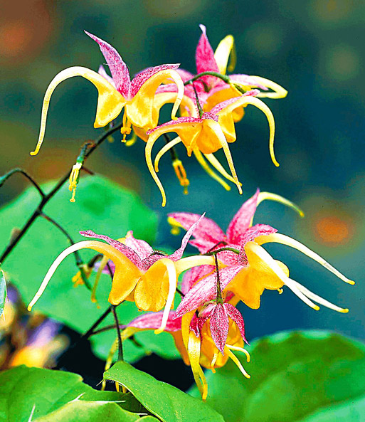 Epimedium 'Fire Dragon®'