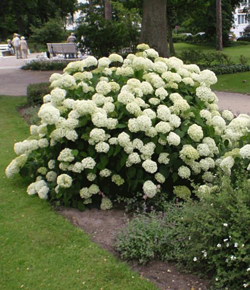 schneeball hortensie 39 annabelle 39 hortensien bei baldur garten. Black Bedroom Furniture Sets. Home Design Ideas