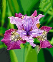 Iris 'Peacock Butterfly® Miss Apple®'