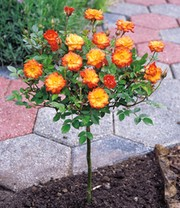Mini-Stammrose Orange