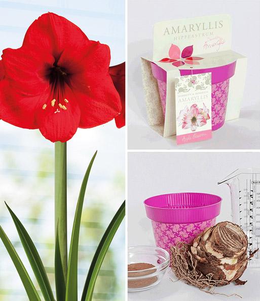 amaryllis im topf 39 red lion 39 blumenzwiebeln a z bei baldur garten. Black Bedroom Furniture Sets. Home Design Ideas