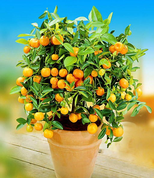 zitronen orangenbaum top qualit t online kaufen baldur garten. Black Bedroom Furniture Sets. Home Design Ideas