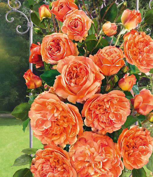 Baldur garten rosen  GEORGES DELBARD Rosen online kaufen & bestellen bei BALDUR-Garten