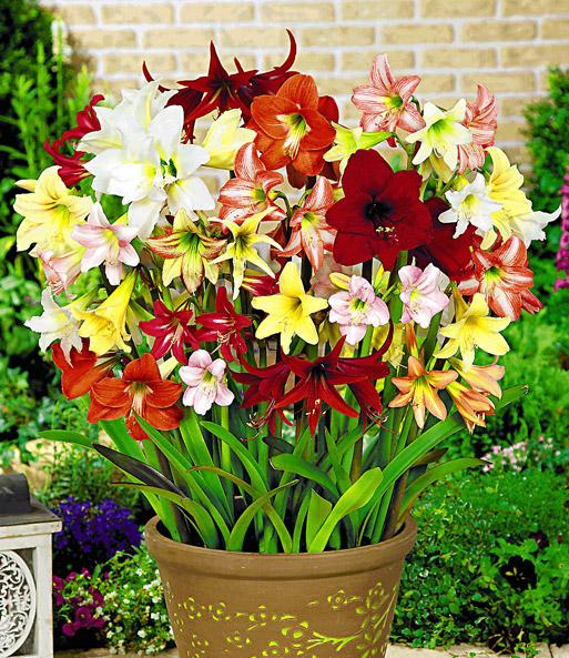 winterharte garten amaryllis 39 farbmix 39 6 pflanzen kaufen. Black Bedroom Furniture Sets. Home Design Ideas