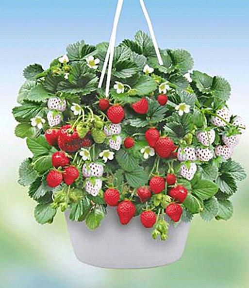erdbeerampel strawberry fields 1a qualit t baldur garten. Black Bedroom Furniture Sets. Home Design Ideas