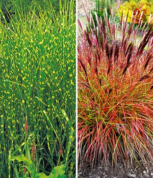 Ziegräser winterhart kaufen & bestellen bei BALDUR-Garten