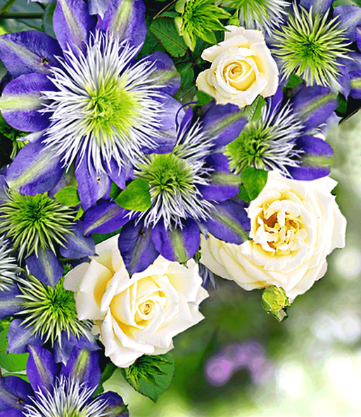 Set Clematis 'Crystal Fountain TM' & Rose 'Blanche Colombe®'