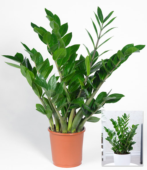 zamioculcas 1a zimmerpflanzen online kaufen baldur garten. Black Bedroom Furniture Sets. Home Design Ideas