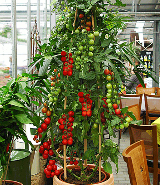 tomaccio tomate tomaten bei baldur garten. Black Bedroom Furniture Sets. Home Design Ideas