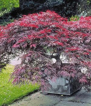 Japanischer Ahorn ´Burgund´,1 Pflanze