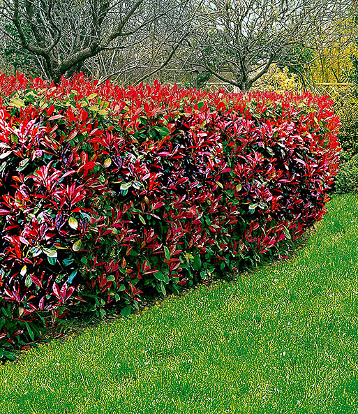 Photinia-Hecke 'Little Red Robin'