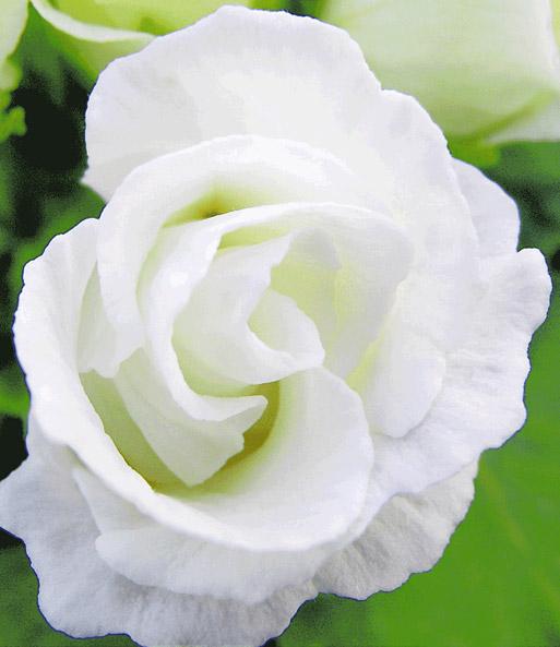 Baldur garten rosen  Rosen-Primula 'Schneeweiß' | Gartenstauden bei BALDUR-Garten