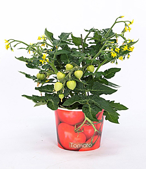 tomatenpflanze mit fr chten im papier bertopf 1a. Black Bedroom Furniture Sets. Home Design Ideas