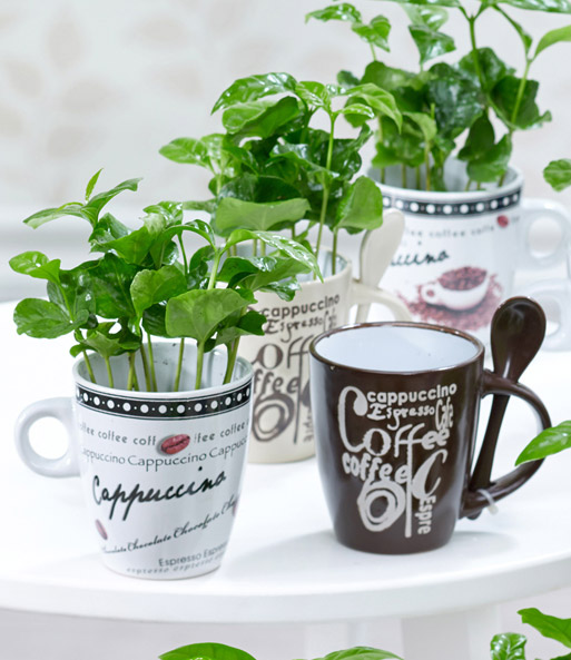coffea arabica mit kaffeetasse baldur garten. Black Bedroom Furniture Sets. Home Design Ideas