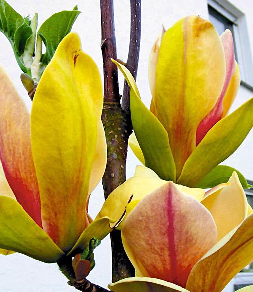 magnolie sunsation 1a qualit t kaufen baldur garten. Black Bedroom Furniture Sets. Home Design Ideas