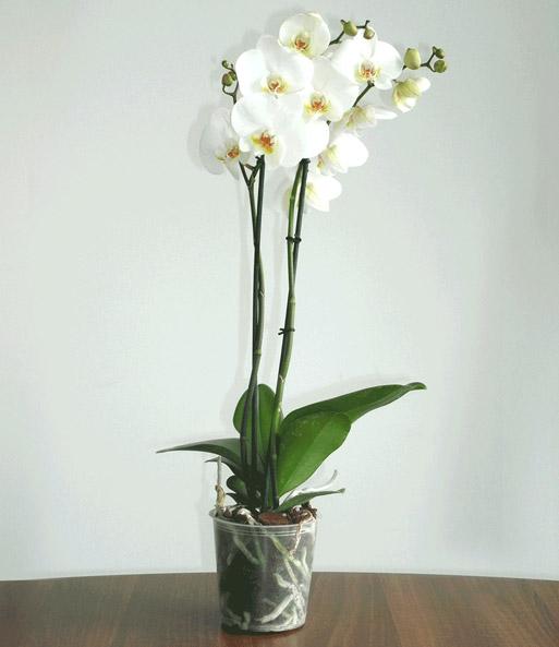 phalaenopsis orchidee wei 1a zimmerpflanzen baldur garten. Black Bedroom Furniture Sets. Home Design Ideas