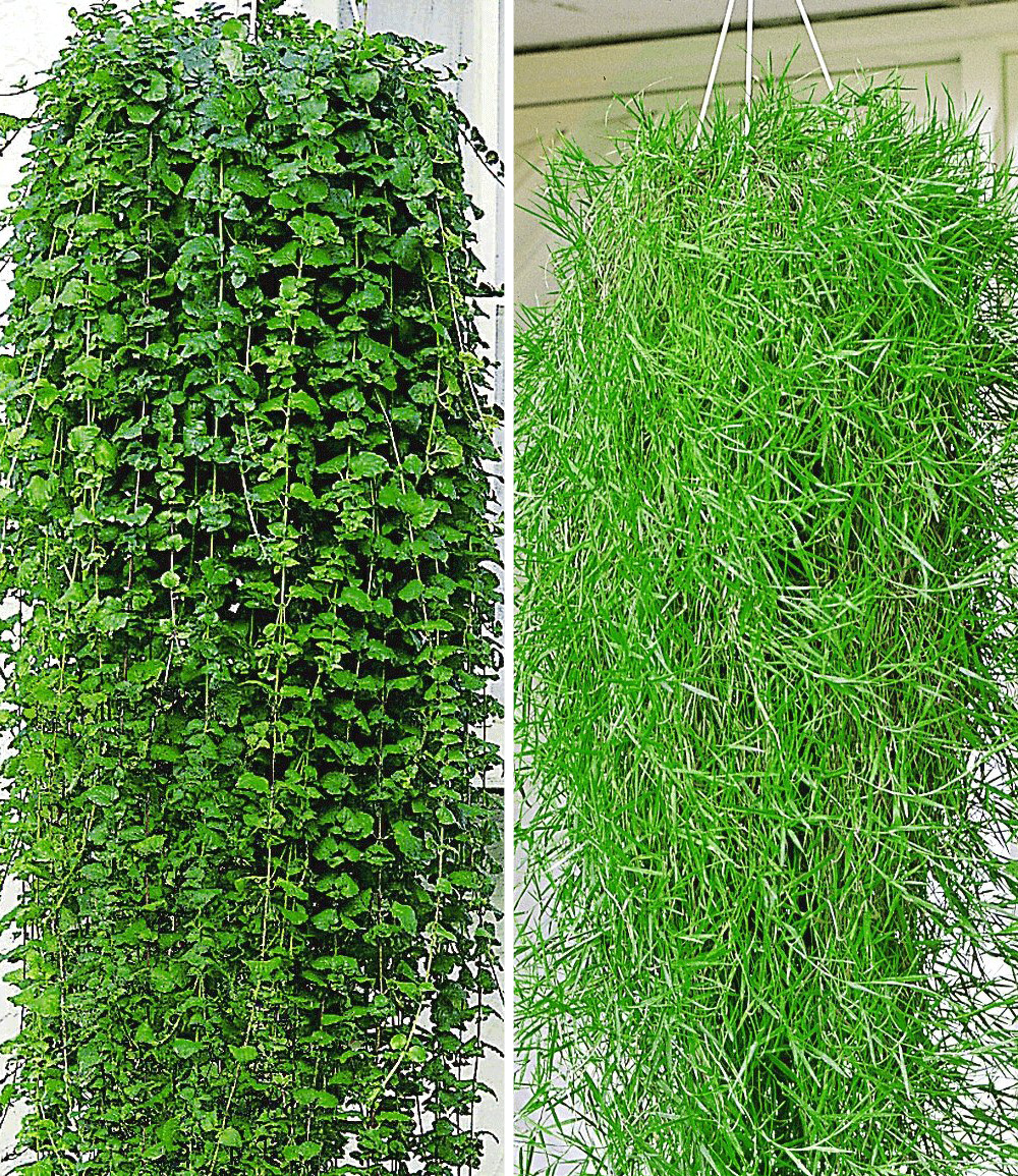 Balkon Kollektion Duftender Indian Mint und Hängender Bambus