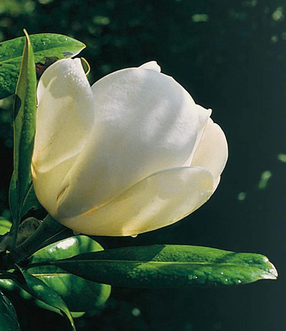 Magnolie 'Jade Lamp'