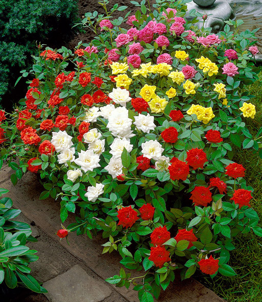 beetrosen 5er farb mix 1a pflanzen online kaufen baldur