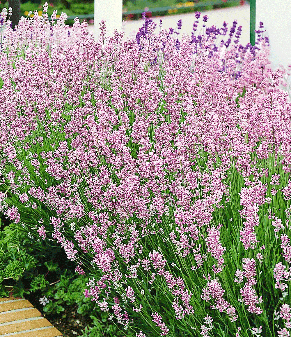Duft-Lavendel 'Rosa'