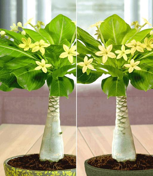 hawaii palmen 2er set 30 40 cm hoc bl hende zimmerpflanzen bei baldur garten. Black Bedroom Furniture Sets. Home Design Ideas