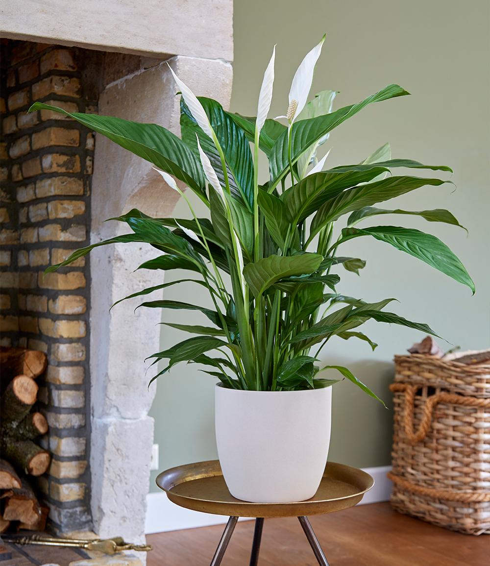Spathiphyllum ca. 50 cm hoch