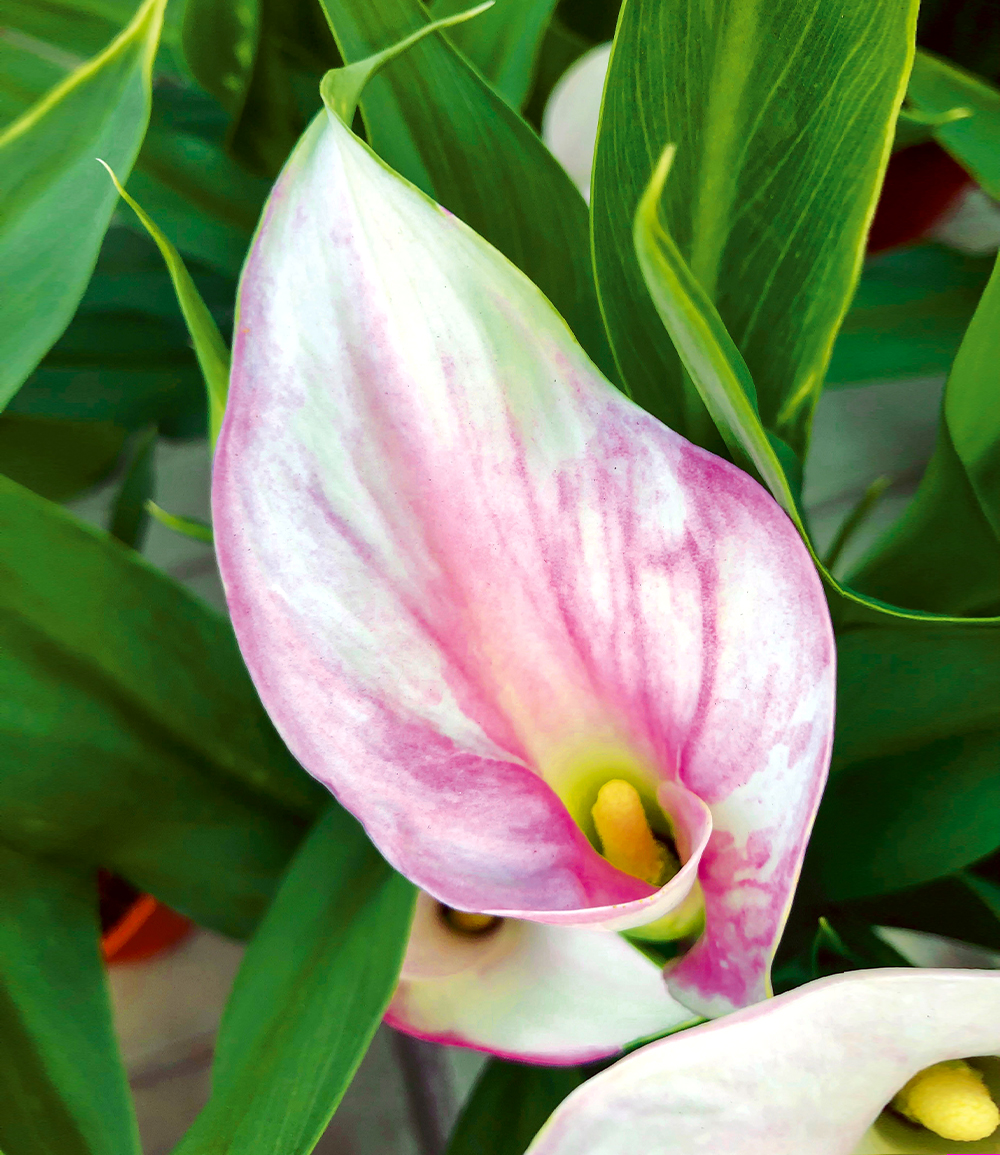 Calla 'Strawberry Blush'
