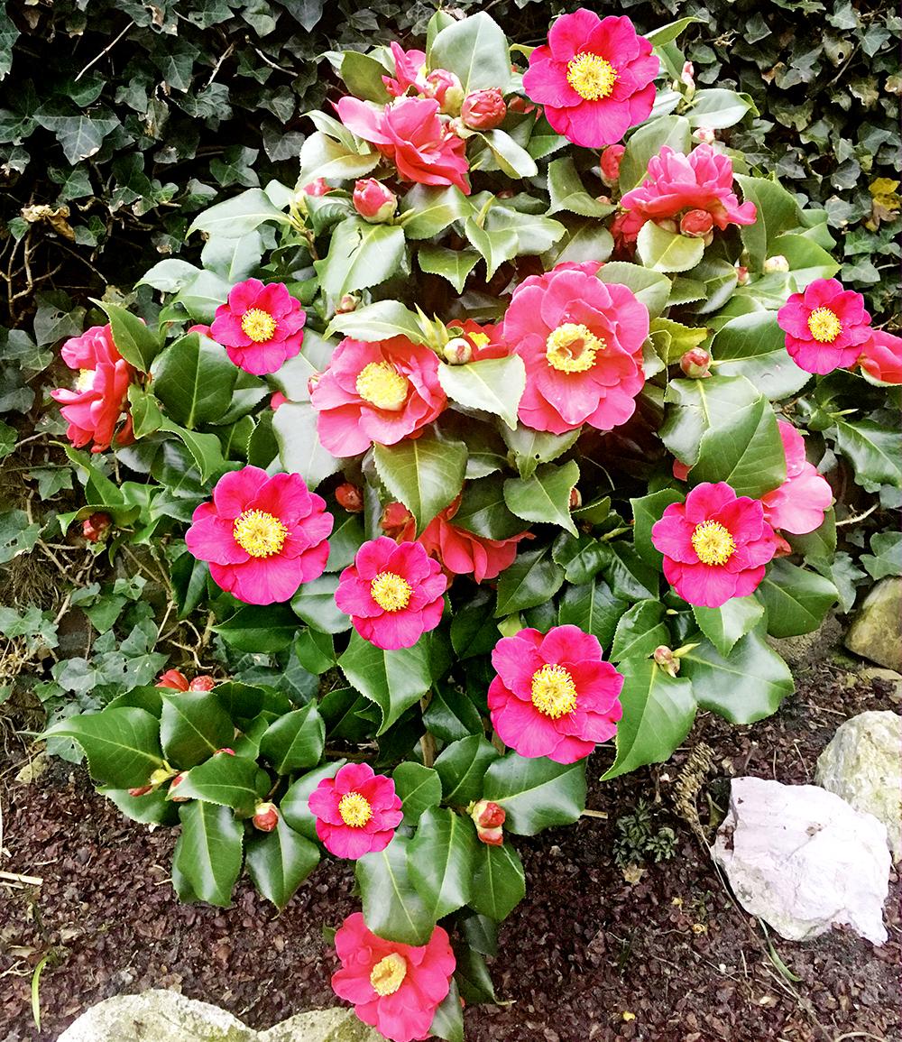 Winterharte Kamelie 'Pink'