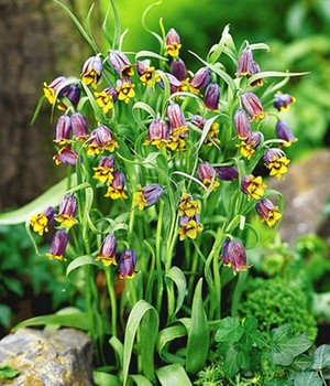 Fritillaria 'Fox's Grape'