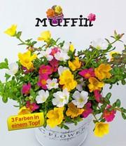 portulak 3 farben trio muffin 1a qualit t baldur garten. Black Bedroom Furniture Sets. Home Design Ideas