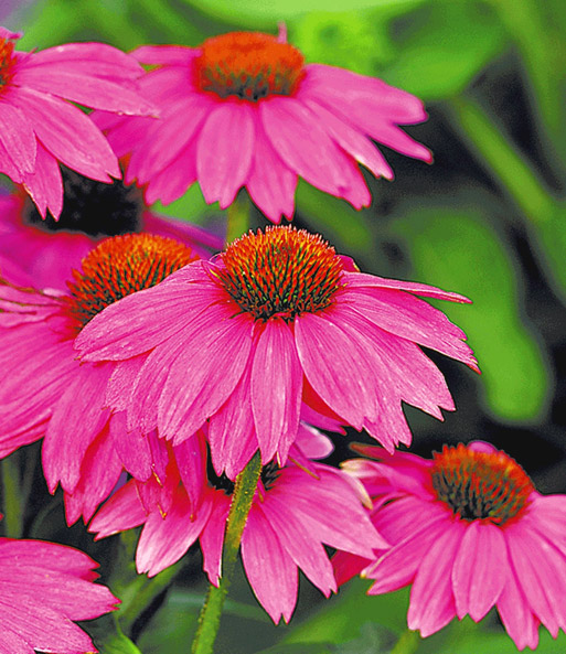 echinacea 39 pow wow 39 easyplant jungpflanzen bei baldur garten. Black Bedroom Furniture Sets. Home Design Ideas