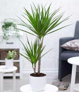 Dracena  - Marginata -  ca. 70 Zentimeter hoch,1 Pflanze