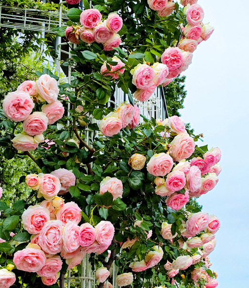 Kletterrose Eden Rose®: 1A-Qualität kaufen  BALDUR-Garten
