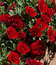 Zauberglöckchen Petunie 'Double Red Rose'