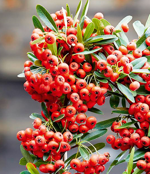 Pyracantha 'Red Star®'