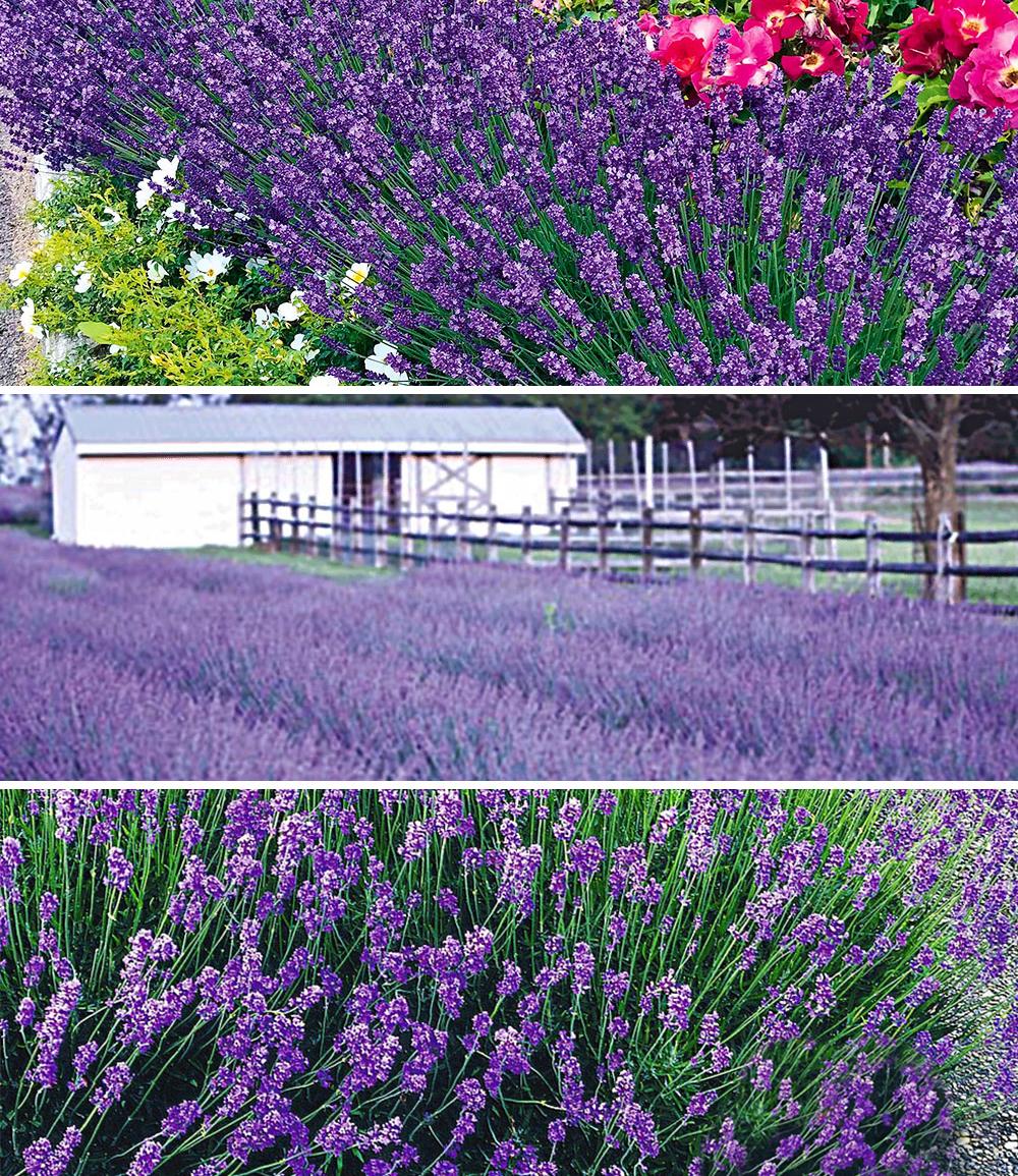 Blauer Lavendel-Mix