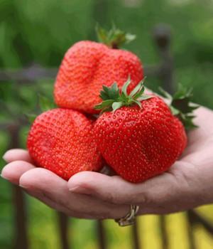 Erdbeere ´Sweet Mary XXL®´ (3 Pflanzen)