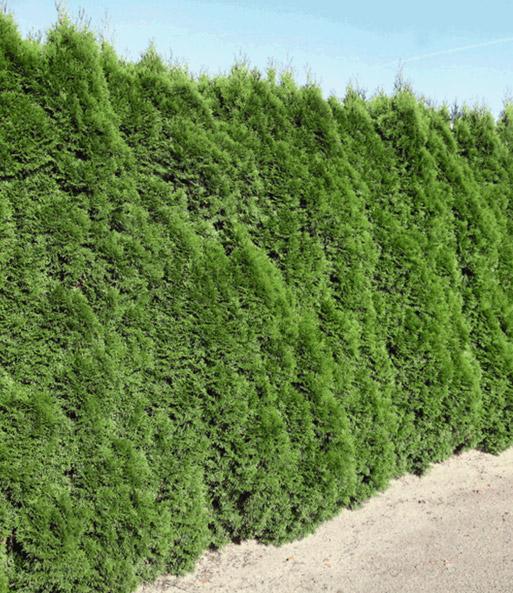 lebensbaum hecke smaragd 40 60cm hoch 1a pflanzen baldur garten. Black Bedroom Furniture Sets. Home Design Ideas
