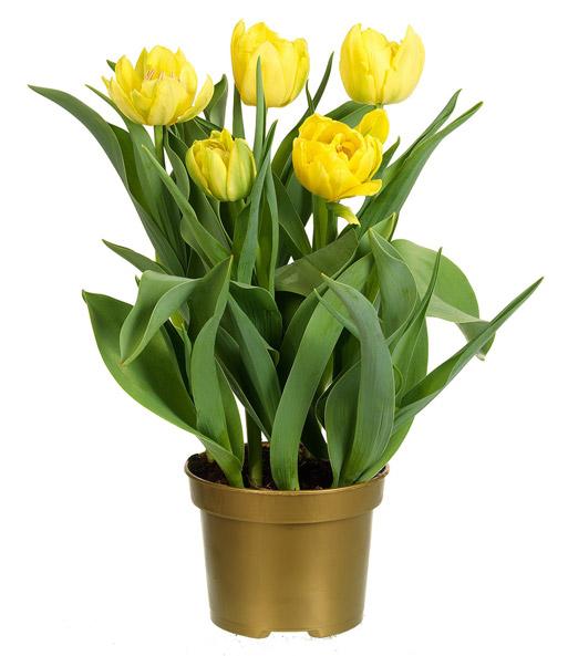 gef llte tulpe im topf 39 gelb 39 1a zimmerpflanzen online kaufen baldur garten. Black Bedroom Furniture Sets. Home Design Ideas